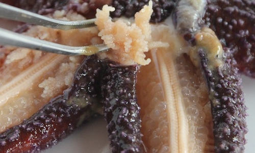 Le gonadi delle stelle di mare possono essere boll