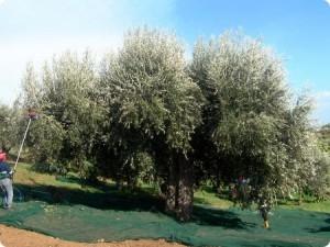Il Leone di Carpineto, albero d'olive centenario nella campagna molisana