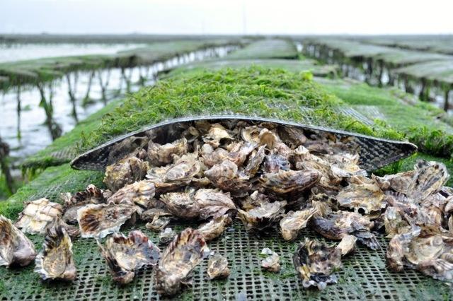 Gli studiosidell'Ifremer, Istituto Francese di Ricerca per lo Sfruttamento del Mare, hanno generato delle ostriche checontengono nelle proprie cellule tre coppie di cromosomi. Non sono organismi geneticamente modificati, anche se ci sono allevatori che sostengono che queste ostriche sarebbero comunque una minaccia per la biodiversità