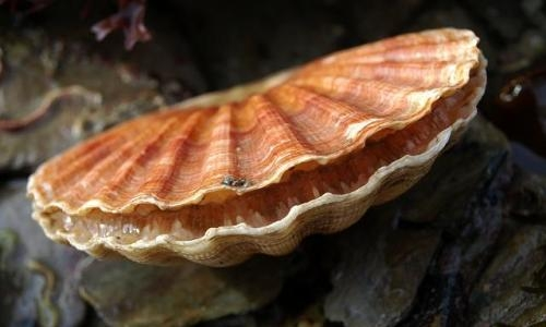 A specimen of pecten maximus, the giant scallops from Northern Europe: they have a maximum of 15 cm and 15-17 rays. A precious food, always fashionable, the shells of Saint Jacques are named after the Saint venerated by the pilgrims to Santiago de Compostela (photowww.aphotomarine.com)