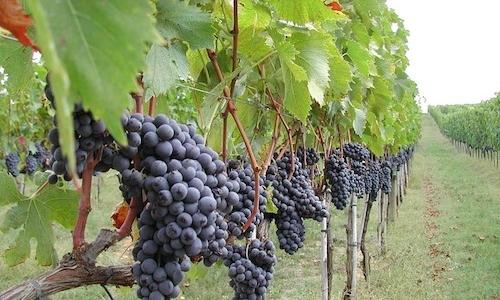 Brunello di Montalcino, 100% Sangiovese grapes (photo blog.dolcetradizione.it)