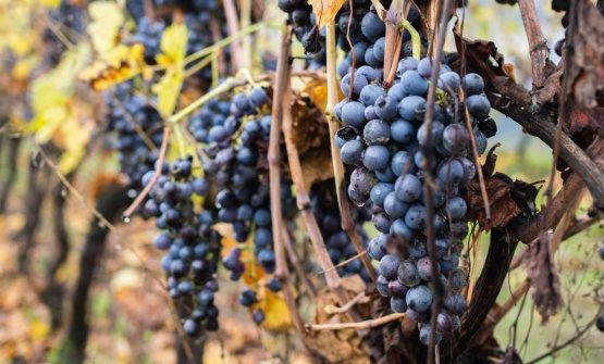 Le uve in appassimento sulle piante nel vigneto del Calinverno
