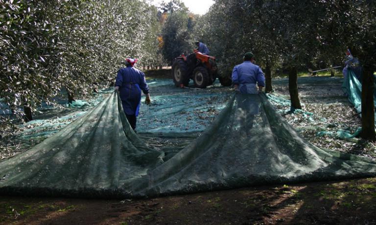 La raccolta delle olive in Calabria, all'Olearia San Giorgio