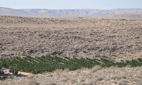 I vigneti dellaCarmey Avdat Farm, una delle zone più inospitali del deserto del Negev, ma solo all'apparenza