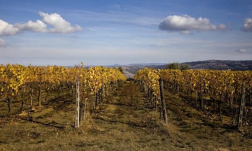 Wineyards in Montalcino (Siena), a town with littl