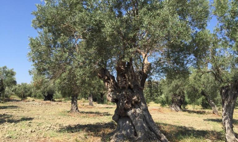 Uno dei tanti ulivi secolari inclusi nella proprietà di Ceraudo