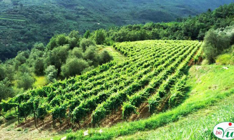 Le vigne di BioVio, di Aimone Vio, scelto come viticoltore dell'anno