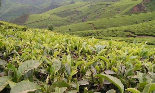 Piantagioni di tè Darjeeling nel Bengala Occidentale, India. Considerato il più pregiato dei tè neri, è oggetto di grande attesa nei 3 principali periodi in cui è raccolto: tra marzo e aprile, maggio e giugno e in autunno (foto All about India)