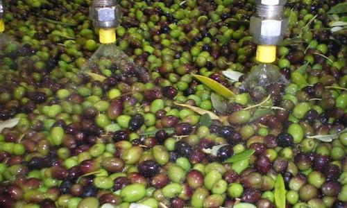 Olive già in lavorazione al Frantoio Gaudenzi in località Camporeale a Pigge (Perugia), tra i primi a iniziare la raccolta, a inizio ottobre.La campagna olearia 2012-2013 in Italia è partita con ottimi auspici: rispetto al 2011, rese minori, qualità superiore