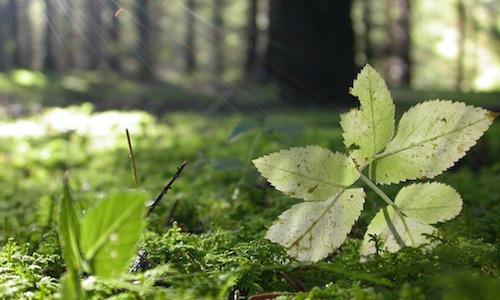 Uno squarcio di luce tra i pini di Asiago, altopia