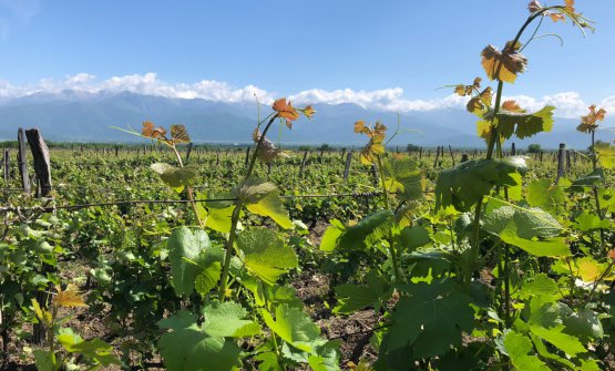 Vineyards in Rkatsiteli on the Kakheti plateau, in