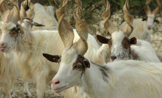 La capra girgentana al pascolo