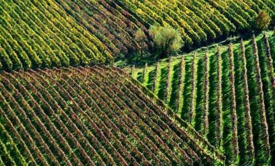 Vigne in Piemonte, creditAlexala