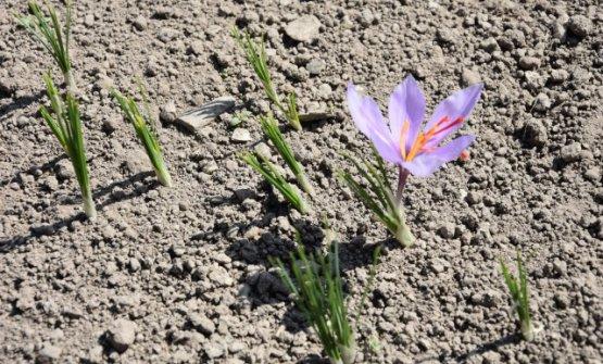 La fioritura delcrocus sativus
