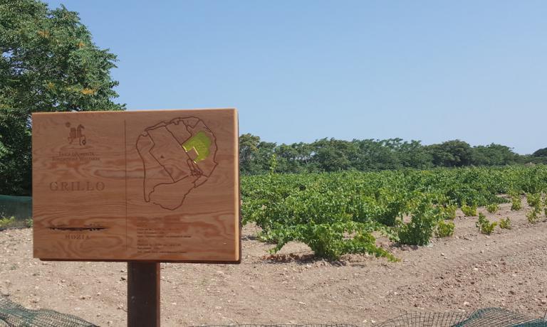 Le vigne di Grillo sull'isola di Mothia,antica città feniciasull'isola di San Pantaleo, nello stagnone di Marsala (Trapani). E' stata l'ambientazione di una rassegnadedicata al Grillo, un vitigno su cui scommette molto per il futuro ilConsorzio di Tutela vini Sicilia Doc