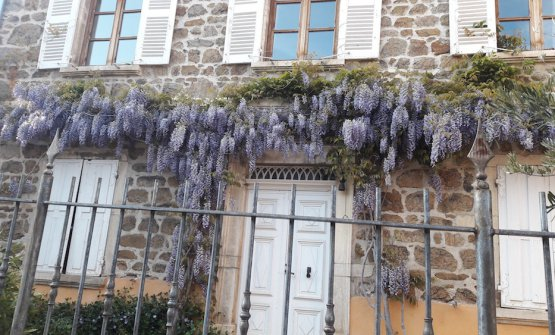 The wisteria on the façade of Auberge de Clochem