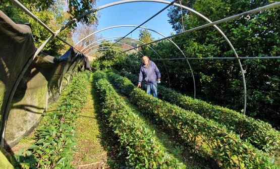Ma che storia fantastica è quella dell'unica piantagione di tè in Italia