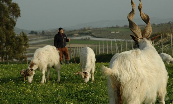 Giacomo Gatì con le sue capre al pascolo