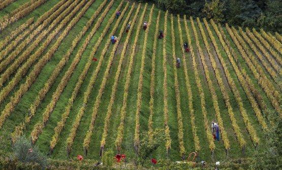 Filari a Oslavia (foto Barsanti)