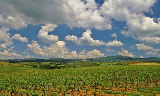 La Maremma Toscana, zona vitivinicola emergente: si cerca di puntare sull'eleganza