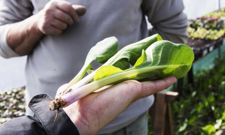 Oltre alle verdure tout court, sull'orto diCastiglione Falletto crescono oltre 500 erbe da tutto il mondo