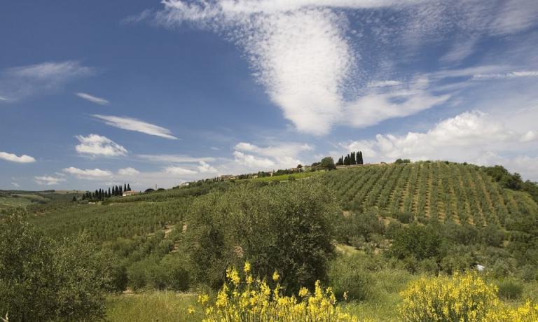 Gli splendidi oliveti del Frantoio Franci, in Toscana