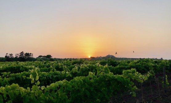 Tenuta La Baronia di Planeta Winery, nel promontorio di Capo Milazzo.