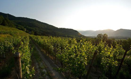 The Uccellanda vineyard at Bellavista