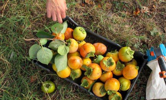 La raccolta della frutta