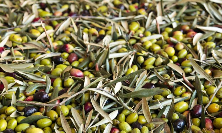 La raccolta delle olive Cultivar Coratina
