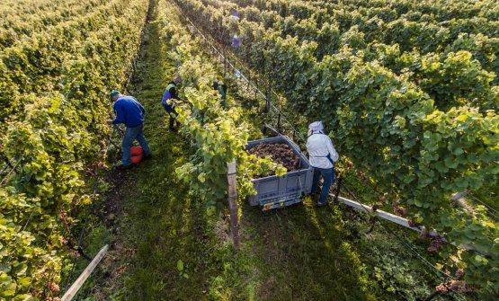 Un momento della vendemmia in Alto Adige (fonte:IDM Südtirol - Alto Adige)