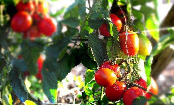 I pomodori di Punta Campanella