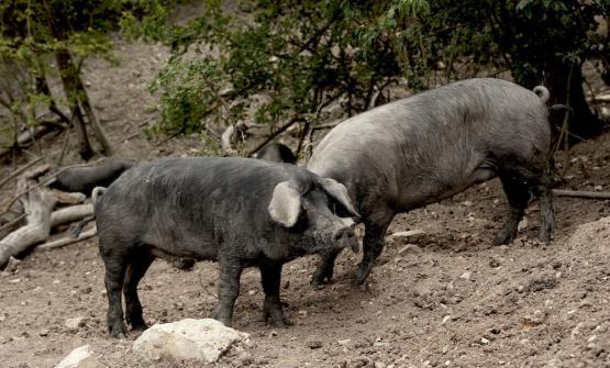 Gli allevamenti del Nero di Parma. 100% biologici