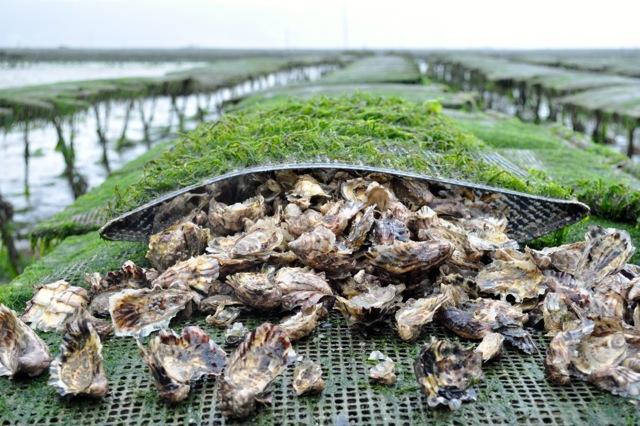 Gli studiosi�dell'Ifremer, Istituto Francese di Ricerca per lo Sfruttamento del Mare, hanno generato delle ostriche che�contengono nelle proprie cellule tre coppie di cromosomi. Non sono organismi geneticamente modificati, anche se ci sono allevatori che sostengono che queste ostriche sarebbero comunque una minaccia per la biodiversit�