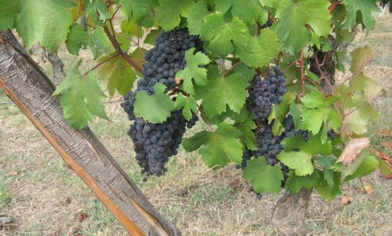 Uve Dolcetto