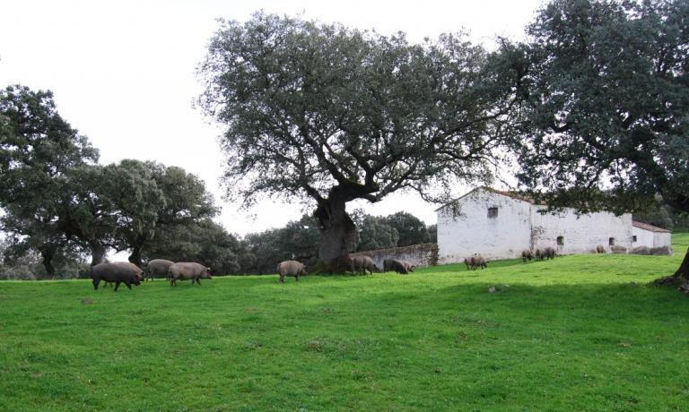 Attraversare l'Extremadura significa anche attraversare la Dehesa, che in questa regione di Spagna si estende per oltre un milione di ettari. Le fincas che si trovano all'interno di questi terreni sono le fattorie dove vengono portati i maiali iberici per il periodo della montanera, da novembre a gennaio, per farli nutrire di erba e ghiande