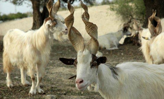 Le caratteristiche corna a turacciolo della capra girgentana