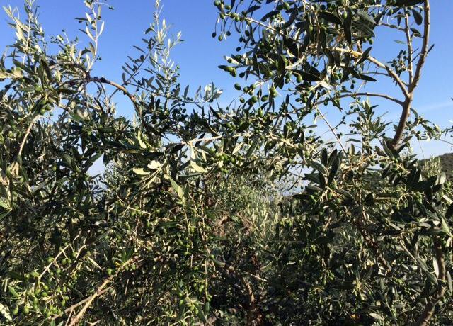 Gli olivi di Gaudenzi ai primi di luglio