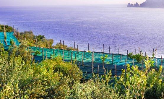 Il pergolato de Le Peracciole con vista su Capri (foto Ennio Calice)