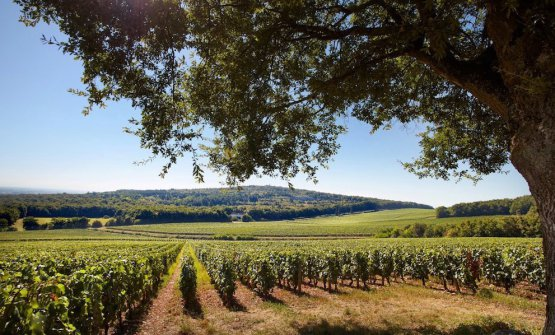 A view of the vineyards of Domaine Faiveley