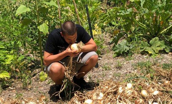 La raccolta delle cipolle Giarratane