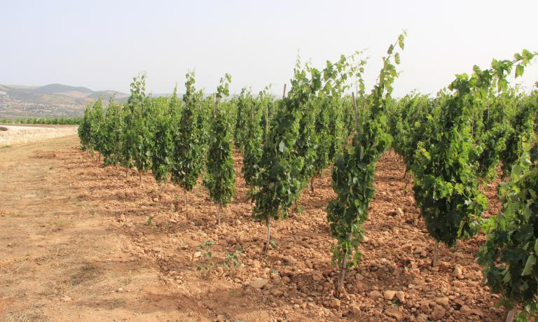 La coltivazione ad alberello