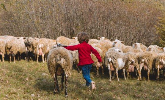 L'agnello carsolino salvato dall'estinzion
