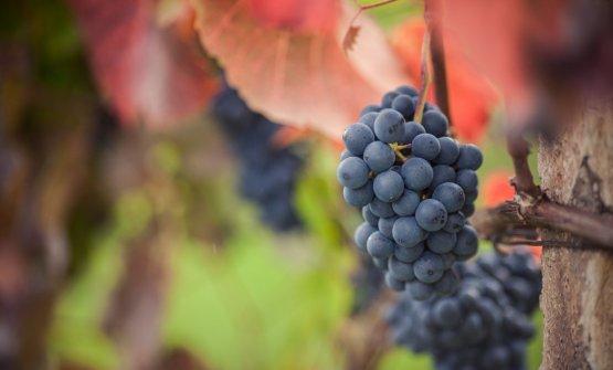 Un grappolo di Lagrein a bacca rossa © IDM Alto A