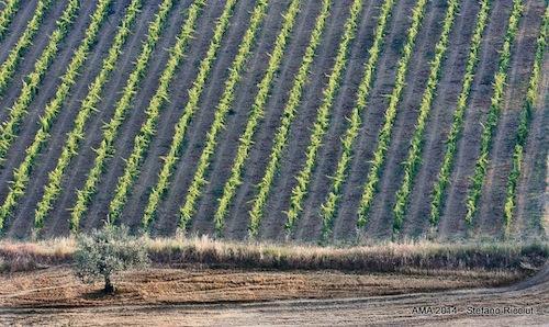 Nella foto di Stefano Ricciuti, le vigne del Montepulciano d'Abruzzo. Il vino, la cui superficie vitata rappresenta il 75 delle Doc della sua regione, � stato oggetto di un importante anteprima a Chieti. 49 le aziende coinvolte