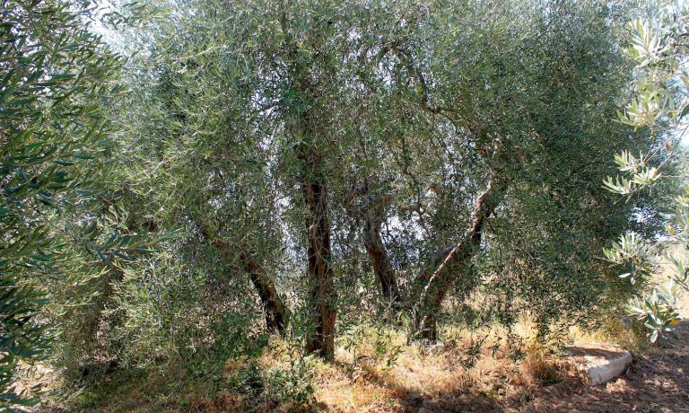 Quest'antico albero di Olivastra Seggianese, che cresce proprio a ridosso del frantoio, nel corso dei decenni si è diviso in quattro grossi tronchi creando una sorta di cerchio magico entro il quale celebrare il rito dell'assaggio dell'olio e della condivisione del cibo.