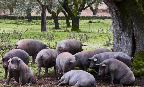 Joselito pigs roaming free in the dehesa. The fa