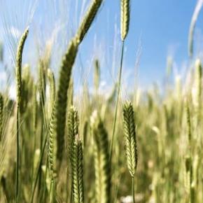 Questo racconto in due parti ci fa conoscere alcuni dei prodotti pi� tipici dell'agricoltura marchigiana: cereali che contribuiscono in maniera fondamentale alla creazione di pasta di primissima qualit�. In questa prima puntata, scopriamo il lavoro dell'azienda agricola urbinate Prometeo
