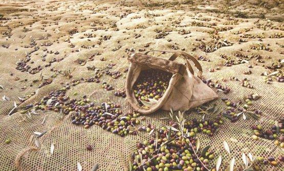 L'oliva Casaliva èla specie principale e autoctona del territorio del Garda Dop