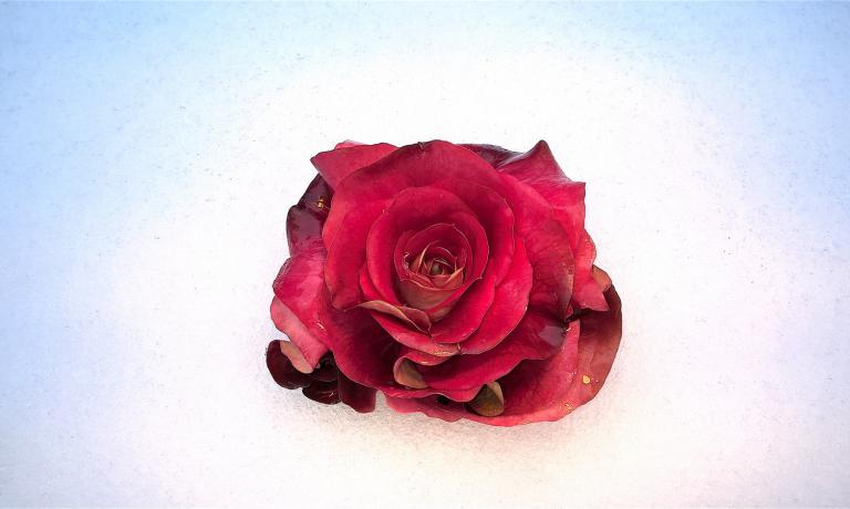 Una Rosa di Gorizia nella neve